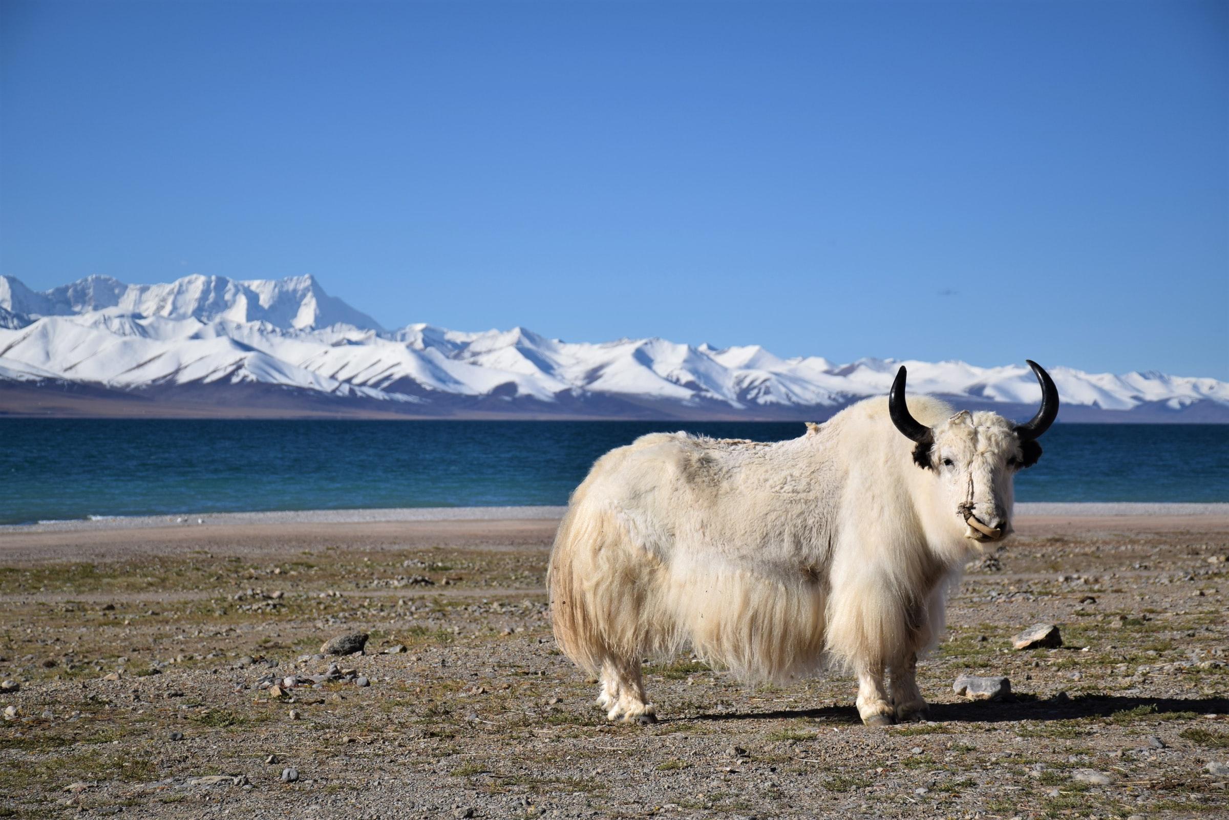 Jak in Tibet an See im Hochgebirge