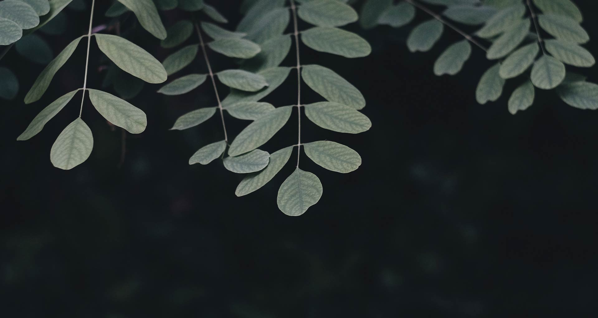 Zweige eines Baums, Hintergrund dunkel, Minimalismus